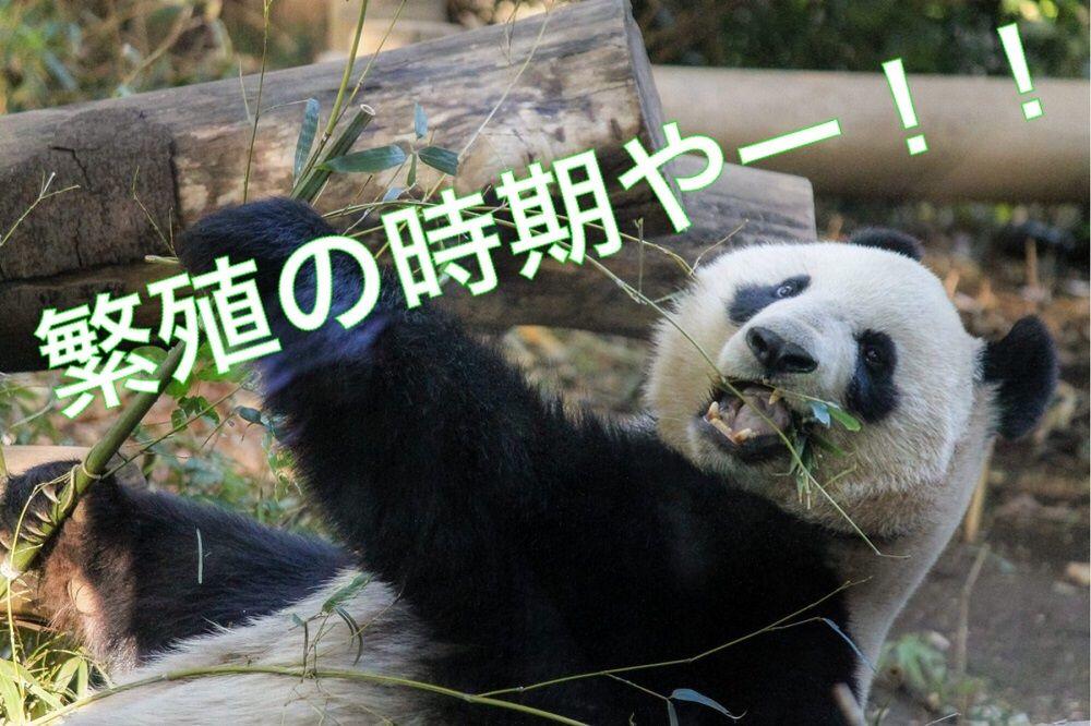 パンダの繁殖期